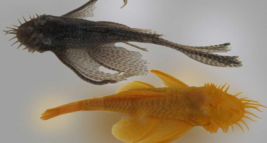 דגי ביצי אנציסטרוס זכר ונקבה